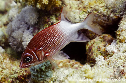Silberfleckhusar / tailspot Squirrelfish / Sargocentron caudimaculatum / Abu Ramada Süd - Hurghada - Red Sea / Aquarius Diving Club