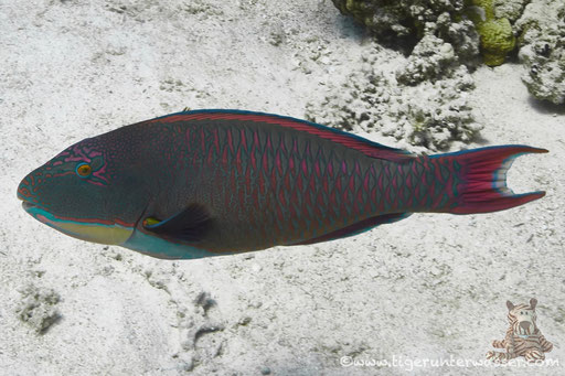 Masken Papageifisch♂ / bicolour parrotfish / Cetoscarus bicolor / Hurghada - Red Sea / Aquarius Diving Club