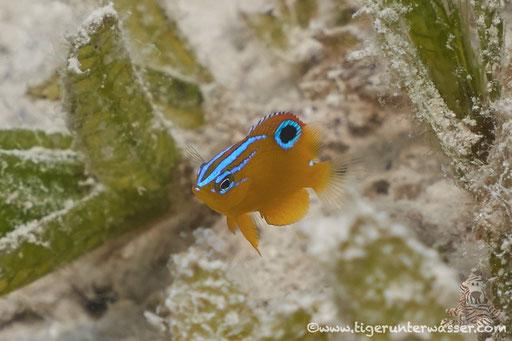 Dreilinien Demoiselle Juv. / Threeline damsel juv. / Pomacentrus trilineatus / Marriott Beach - Hurghada - Red Sea / Aquarius Diving Club