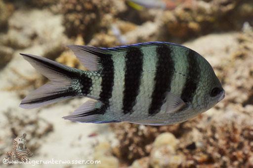 Scherenschwanz-Sergeant / Scissortail sergeant / Abudefduf sexfasciatus / Erg Estha - Hurghada - Red Sea / Aquarius Diving Club
