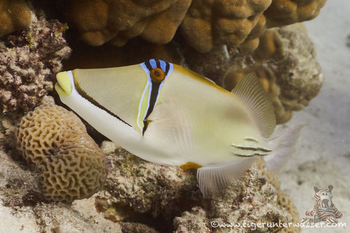 Arabischer Picassodrücker / Picasso triggerfish / Rhinecanthus assasi / Discha Malagk - Makadi Bay - Red Sea / Aquarius Diving Club