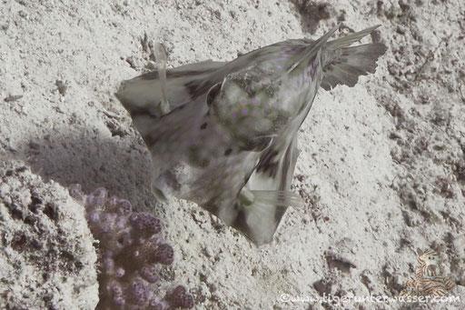 Pyramiden Kofferfisch / humpback turretfish / Tetrasomus gibbosus / Fanadir Nord - Hurghada - Red Sea / Aquarius Diving Club