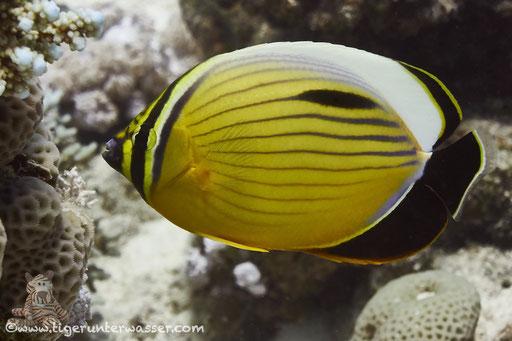 Rotmeer Rippenfalterfisch / blacktail butterflyfish / Chaetodon austriacus / Godda Abu Ramada East/West - Hurghada - Red Sea / Aquarius Diving Club