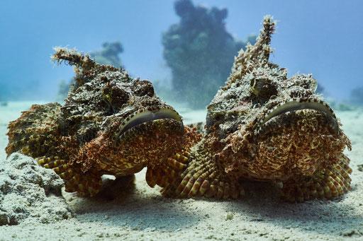 Fransiger Drachenkopf / tassled scorpionfish / Scorpaeopsis oxycephala / Abu Ramada Süd - Hurghada - Red Sea / Aquarius Diving Club