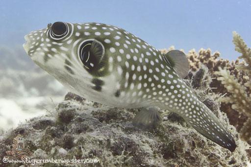 Weißflecken Kugelfisch / white-spotted puffer / Arothron hispidus / Marsa Abu Galawa - Hurghada - Red Sea / Aquarius Diving Club