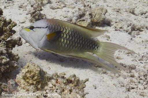 Stülpmaul Lippfisch / sling-jaw wrasse / Epibulus insidiator / Fanadir Süd - Hurghada - Red Sea / Aquarius Diving Club
