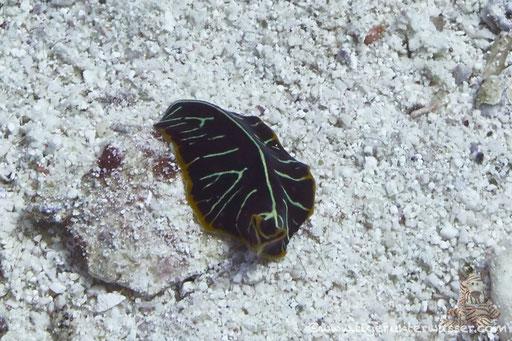 Tiger Strudelwurm / tiger flatworm / Pseudoceros cf. dimidatus / - Hurghada - Red Sea / Aquarius Diving Club