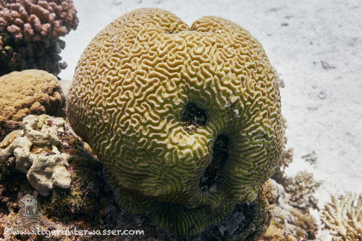 Raue Hirnkoralle / Brain coral / Platygyra daedalea / Errough - Hurghada - Red Sea / Aquarius Diving Club
