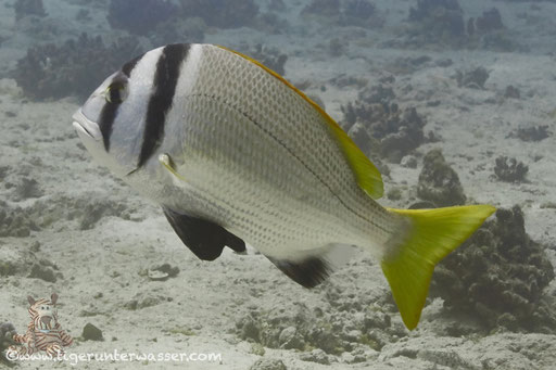 Doppelband Meerbrasse / twobar seabream / Acanthopagrus bifasciatus /- Hurghada - Red Sea / Aquarius Diving Club