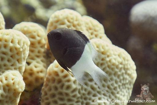 Indischer Zweifarben Chromis / Bicolor Puller / Chromis dimidiata / Shaab Sabina - Hurghada - Red Sea / Aquarius Diving Club
