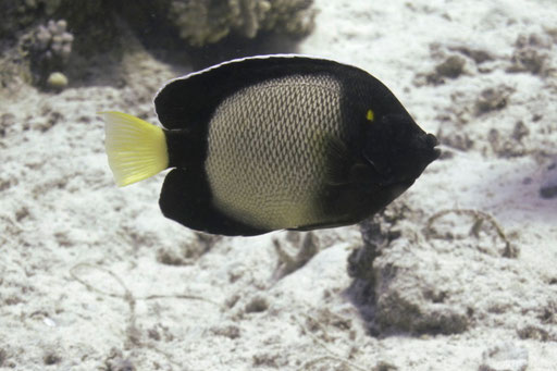 Arabischer Rauchkaiserfisch / Yellow-ear angelfish / Apolemichthys xanthotis / Ben El Gebal - Hurghada - Red Sea / Aquarius Diving Club