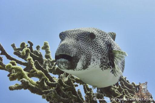 Riesen Kugelfisch / starry puffer / Arothron stellatus / Discha - Makadi Bay - Red Sea / Aquarius Diving Club