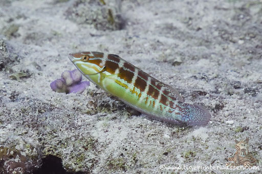 Schwarzfleck Junker - Spottail coris - Coris caudimacula / Errough - Hurghada - Red Sea / Aquarius Diving Club