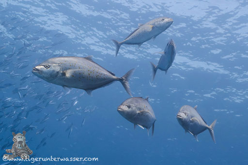 Zitronen Stachelmakrele / Gold-spotted trevally / Carangoides bajad / Banana Reef - Hurghada - Red Sea / Aquarius Diving Club