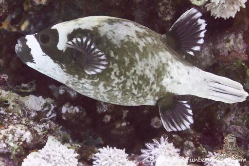 Masken Kugelfisch / masked puffer / Arothron diadematus /Godda Abu Ramada - Hurghada - Red Sea / Aquarius Diving Club