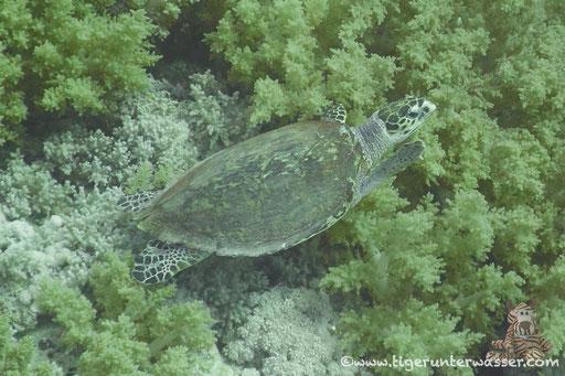 Echte Karettschildkröte / hawksbill sea turtle / Eretmochelys imbricata / Big Brother - Red Sea / VitaXplorer / Aquarius Safari