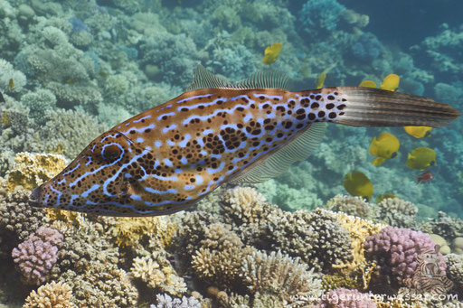 Schrift Feilenfisch / scrawled filefish / Aluterus scriptus / Umm Kamar - Hurghada - Red Sea - Aquarius Diving Club