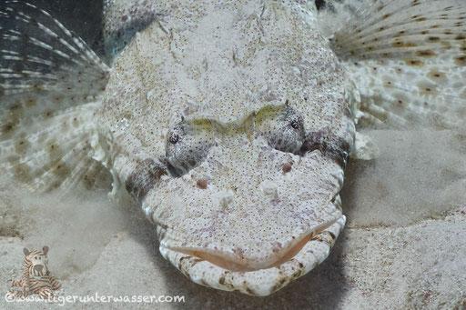 Gemeiner Krokodilsfisch / Indian Ocean crocodilefish / Papilloculiceps longiceps / Ben El Gebal - Hurghada - Red Sea / Aquarius Diving Club