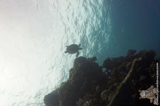 Schildkröt / Small Giftun - Hurghada - Red Sea / Aquarius Diving Club