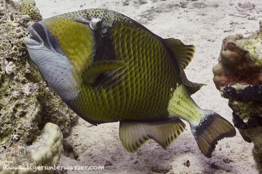 Riesen Drückerfisch / titan triggerfish / Balistoides viridescens / Hurghada - Red Sea / Aquarius Diving Club