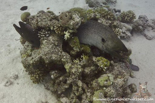 Riesenmuräne / giant moray / Gymnothrax javanicus / Godda Abu Ramada East/West - Hurghada - Red Sea / Aquarius Diving Club