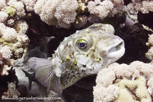 Gelbflecken Igelfisch / Spotbase burrfish / Cyclichthys spilostylus / Godda Abu Ramada Right - Hurghada - Red Sea / Aquarius Diving Club