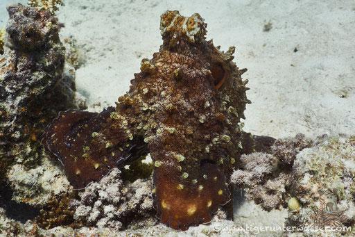 Roter Krake / common reef octopus or big blue octopus / Octopus cyaneus / Marsa Abu Galawa - Hurghada - Red Sea / Aquarius Diving Club