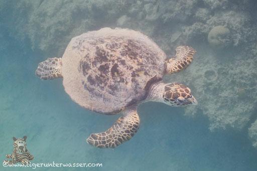 Echte Karettschildkröte / hawksbill sea turtle / Eretmochelys imbricata / Marriott Beach - Hurghada - Red Sea / Aquarius Diving Club
