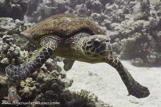 Echte Karettschildkröte / hawksbill sea turtle / Eretmochelys imbricata / Hamda - Hurghada - Red Sea / Aquarius Diving Club