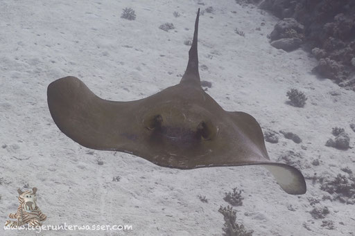 Federschwanz Stechrochen / cowtail stingray / Pastinachus sephen / Shaab Sabina - Hurghada - Red Sea / Aquarius Diving Club