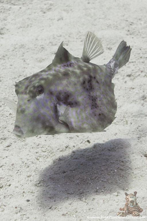 Pyramiden Kofferfisch / humpback turretfish / Tetrasomus gibbosus / Godda Abu Ramada East/West - Hurghada - Red Sea / Aquarius Diving Club