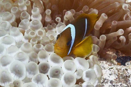 Rotmeer Anemonenfisch / Red Sea (or two-banded) clownfish / anemonefish / Amphiprion bicinctus / - Hurghada - Red Sea / Aquarius Diving Club