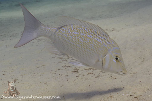 Blauschuppen Strassenkehrer / Spangled emperor / Lethrinus nebulosus /  Erg Estha - Red Sea / Aquarius Diving Club
