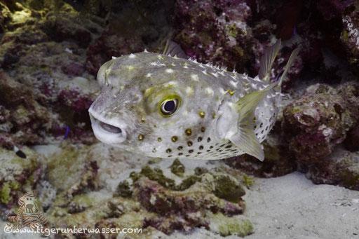 Gelbflecken Igelfisch / Spotbase burrfish / Cyclichthys spilostylus / Umm Kamar - Hurghada - Red Sea / Aquarius Diving Club