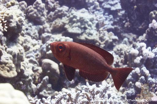 Riff Grossaugenbarsch - Moontail Bullseye - Priacanthus hamrur / Small Giftun - Hurghada - Red Sea / Aquarius Diving Club