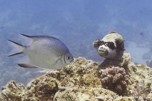 Masken Kugelfisch / masked puffer / Arothron diadematus / Small Giftun - Hurghada - Red Sea / Aquarius Diving Club