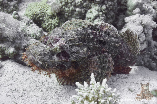 Fransiger Drachenkopf / tassled scorpionfish / Scorpaeopsis oxycephala /  Hurghada - Red Sea / Aquarius Diving Club