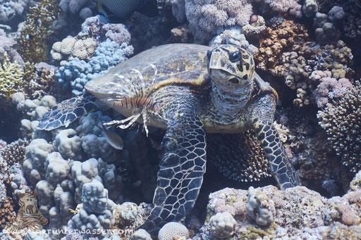 Echte Karettschildkröte / hawksbill sea turtle / Eretmochelys imbricata / Godda Abu Ramada Süd - Hurghada - Red Sea / Aquarius Diving Club
