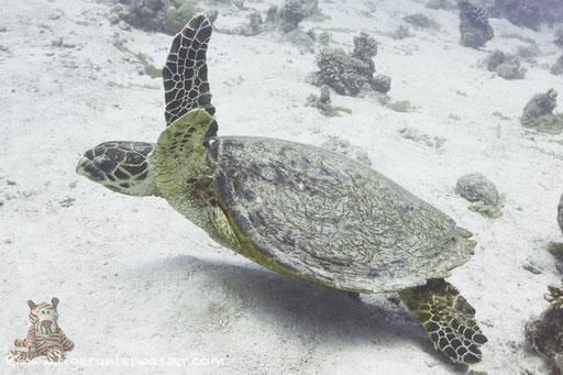 Echte Karettschildkröte / hawksbill sea turtle / Eretmochelys imbricata / Sakhwat Abu Galawa - Hurghada - Red Sea / Aquarius Diving Club