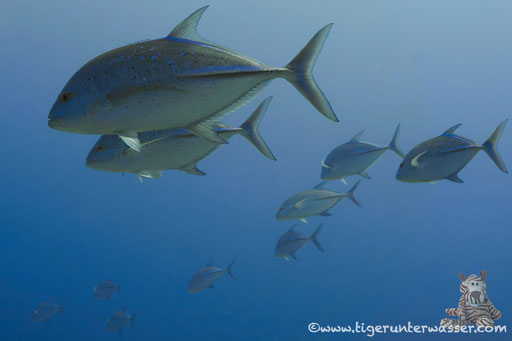 Blauflossen Makrele / bluefin jack / Caranx melampygus / Small Giftun - Hurghada - Red Sea / Aquarius Diving Club