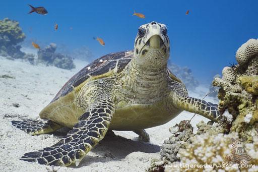 Echte Karettschildkröte / hawksbill sea turtle / Eretmochelys imbricata / Disha - Makadi Bay - Red Sea / Aquarius Diving Club