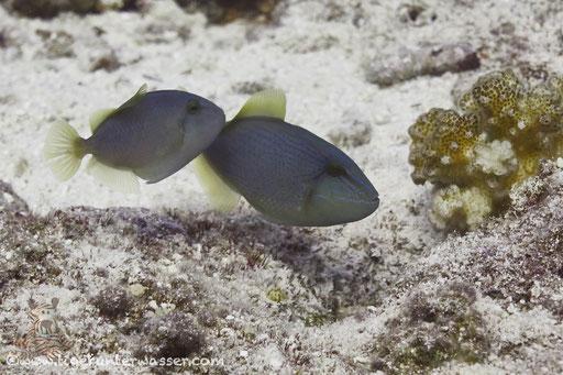 Blaustreifen Drückerfisch / blue triggerfish / Pseudobalistes fuscus / Errough - Hurghada - Red Sea / Aquarius Diving Club
