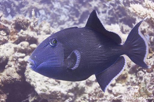 Blaustreifen Drückerfisch / blue triggerfish / Pseudobalistes fuscus / Hurghada - Red Sea / Aquarius Diving Club