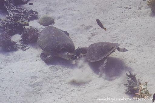 Echte Karettschildkröte / hawksbill sea turtle / Eretmochelys imbricata / Malagk Disha - Makadi Bay - Red Sea / Aquarius Diving Club