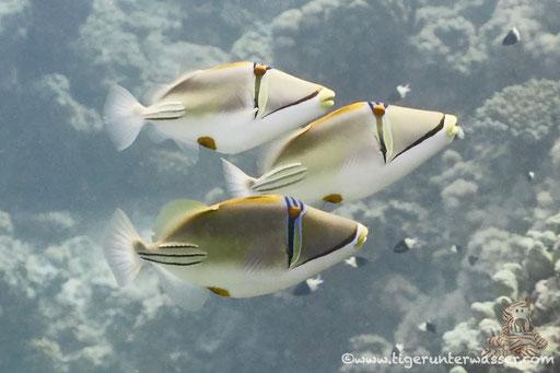 Arabischer Picassodrücker / Picasso triggerfish / Rhinecanthus assasi / Godda Abu Ramada East - Hurghada -Red Sea / Aquarius Diving Club