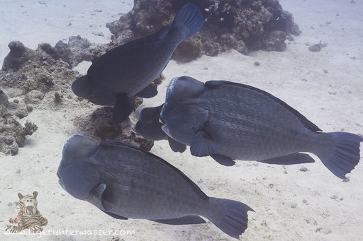 Büffelkopf Papagaifisch / green humphead parrotfish / Bolbometapon muricatum / Abu Ramada Süd - Hurghada - Red Sea / Aquarius Diving Club