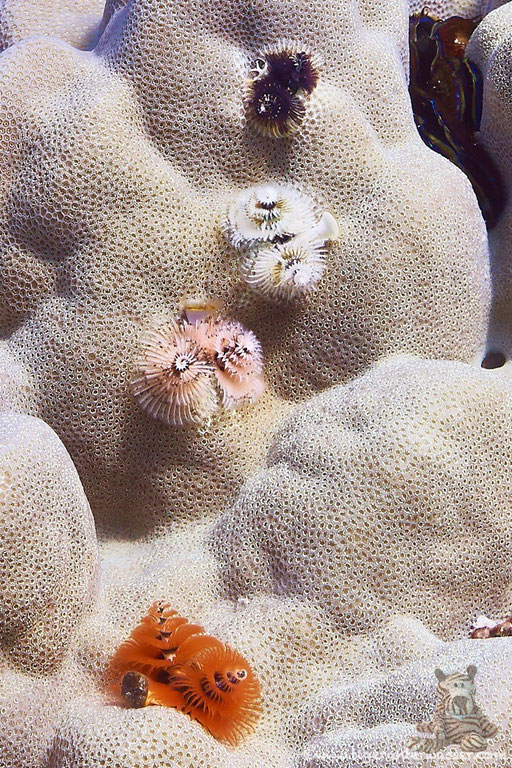 Weihnachtsbaum Röhrenwurm / Christmas tree worms / Spirobranchus giganteus / - Hurghada - Red Sea / Aquarius Diving Club