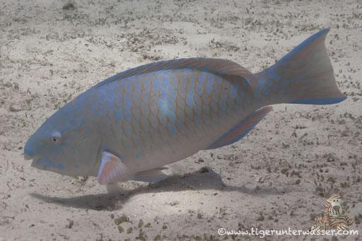 Blauband Papageifisch / Bluebarred parrotfish / Scarus ghobban / Erg Estha - Hurghada - Red Sea / Aquarius Diving Club