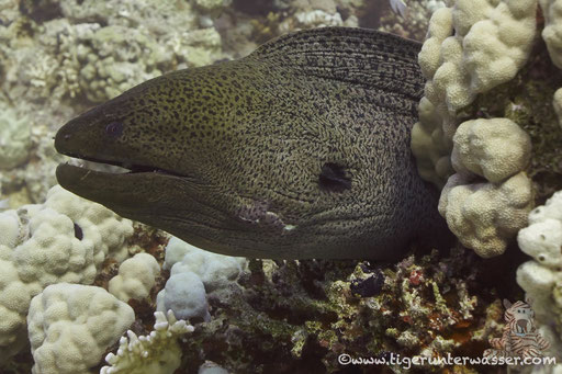 Riesenmuräne / giant moray / Gymnothrax javanicus / Hurghada - Red Sea / Aquarius Diving Club
