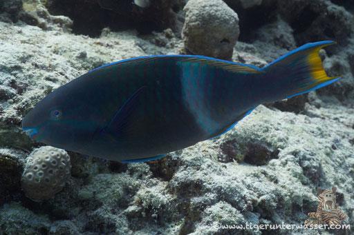 Sakhwat Abu Galawa - Hurghada - Red Sea / Aquarius Diving Club